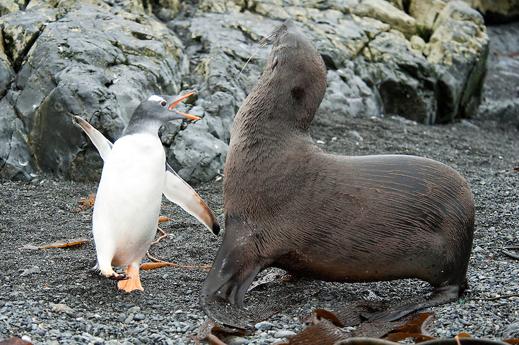 Gentoo Penguin (Pygoscelis papua) and Antarctic fur seal, having a disagreement, Prion Island, South Georgia