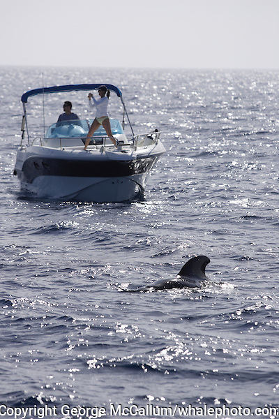 Short finned Pilot whale Globicephala macrorhynchus couple on small pleasure boat whalewatching. Tenerife, Canary Islands, Spain