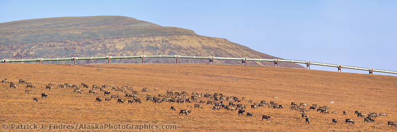 Panorama of barren ground caribou migrating across the autumn Arctic tundra near Slope Mountain on the edge of the Arctic North Slope, Alaska.