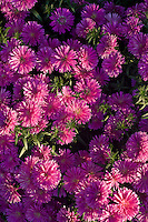 Flower Garden - Cultivated Asters