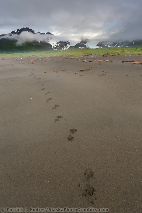 Wolf tracks on the sandy beach of coastal Katmai National Park, Alaska Peninsula, southwest Alaska. Aleutian mountain range in the distance.