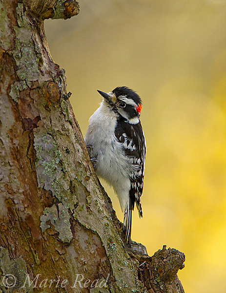 Downy Woodpecker (Picoides pubescens) male clinging to the treetrunk where it drums in spring, New York, USA. Backlit cottonwood leaves in background (spring)