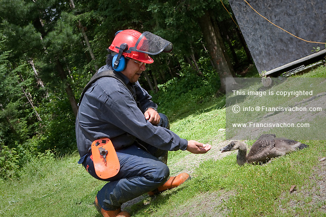 An algonquin / Anicinapek plays with a bustard that he adopted years ago in the algonquin Anicinape community of Kitcisakik in Quebec, Canada, July 18, 2009.