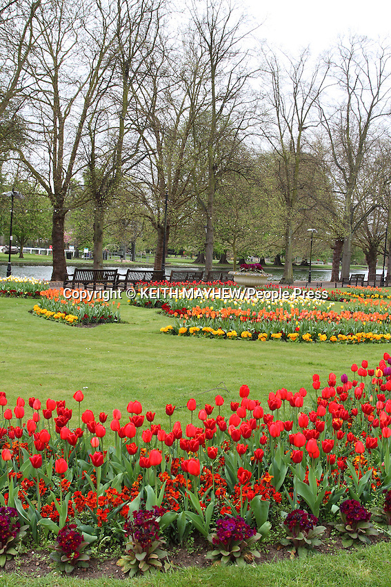 Magnificent colourful display of Tulips on the embankment by the Great River Ouse in Bedford, England on April 12th 2014<br /> <br /> Photo by Keith Mayhew