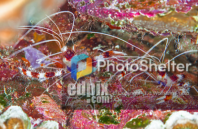 28 January 2016: A pair of Coral Banded Shrimps (Stenopus hispidus) reside under a coral patch on the house reef, north of Captain Don's Habitat in Bonaire. Bonaire is known for its pioneering role in the preservation of the marine environment. A part of the Netherland Caribbean Islands, Bonaire is located off the coast of Venezuela and offers excellent scuba diving, snorkeling and windsurfing.  Mandatory Credit: Ed Wolfstein Photo *** RAW (NEF) Image File Available ***