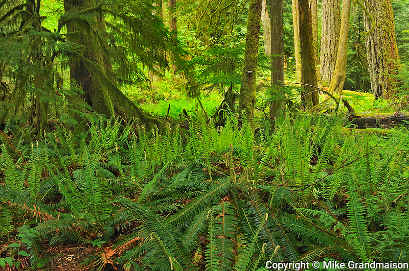 Old growth in Temperate rain forest <br /> Cathedral Grove (McMillan Provincial Park)<br /> British Columbia<br /> Canada