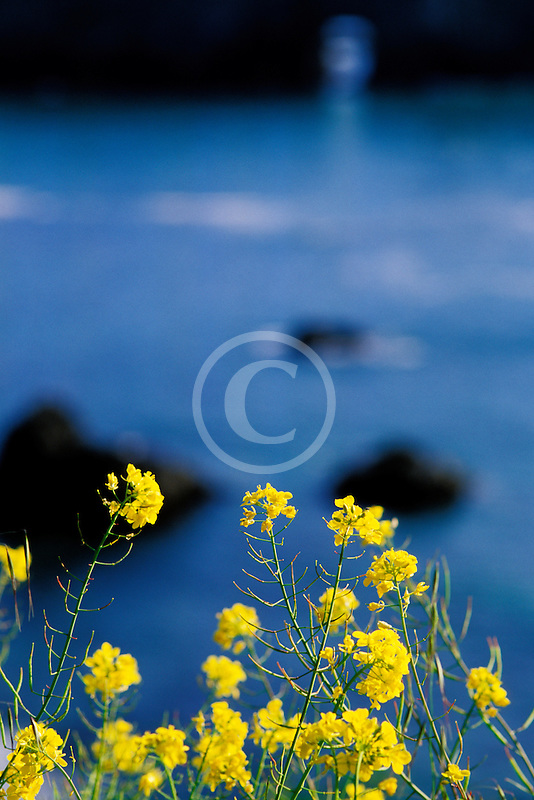 California, Mendocino County, Mustard flowers and ocean