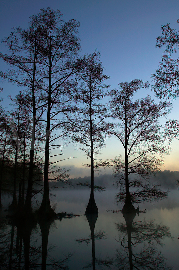 Baldcypress trees in Spring Lake, Wall Doxey State Park, Mississippi