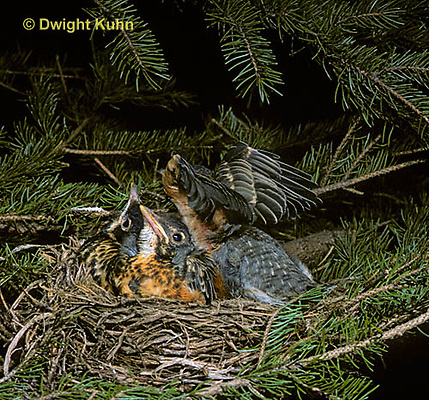 RO06-007z   American Robin - feathered young in nest - Turdus migratorius