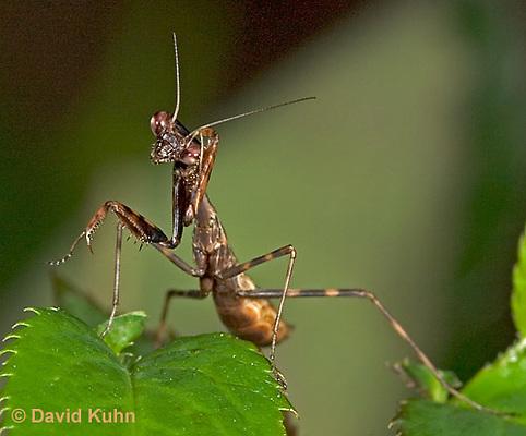 "0203-07oo  Budwing Mantis ""Nymph"" - Parasphendale agrionina ""Nymph"" © David Kuhn/Dwight Kuhn Photography"