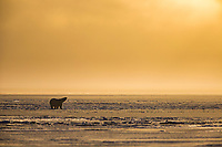 Polar bear on the newly formed sea ice on the Beaufort Sea along Alaska's Arctic Coast.