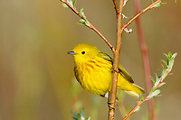 Adult male Yellow Warbler (Dendroica petechia). Seward peninsula, Alaska. June.