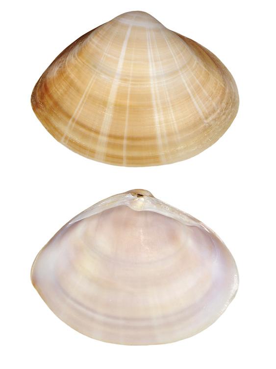 Rayed Trough Shell - Mactra stultorum