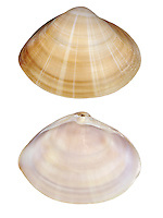 Rayed Trough Shell - Mactra stultorum