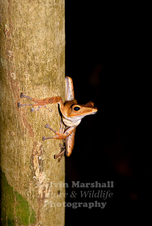 """Rhacophoridae is a family of frog species, which occur in tropical regions of Asia and Africa. They are commonly known as shrub frogs, or more ambiguously as '""""moss frogs"""" or """"bush frogs"""". Some Rhacophoridae are called """"tree frogs"""". Among the most spectacular members of this family are numerous """"flying frogs""""."""