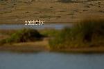 American White Pelican (Pelecanus erythrorhynchos) flock at lagoon, Point Reyes National Seashore, California