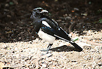Black billed magpie in Jackson, Wyoming