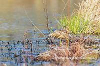 00685-00614 American Bittern (Botaurus lentiginosus) eating tadpole in wetland Marion Co. IL