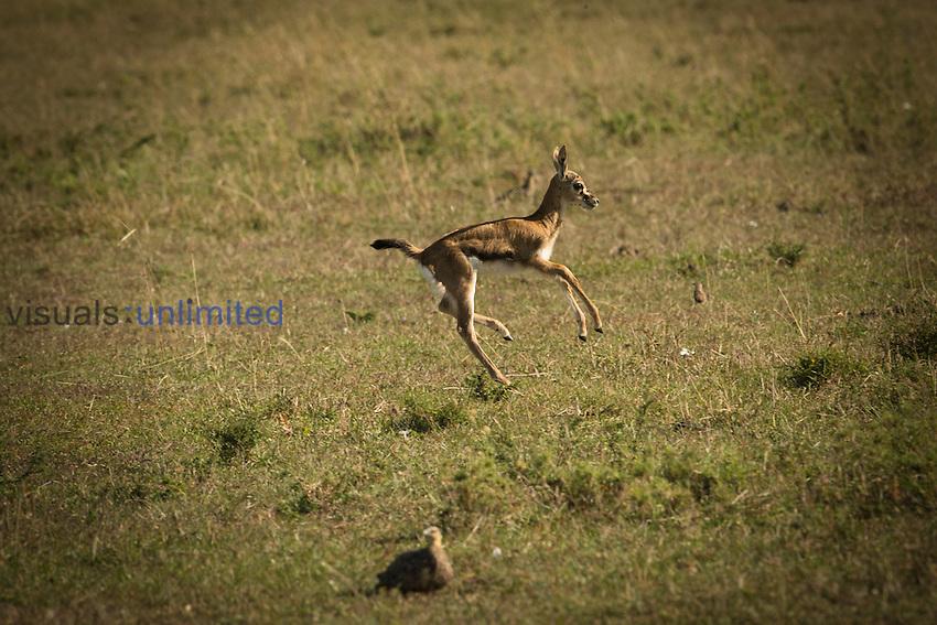 Thompson's Gazelle young running (Gazella thomsonii), Masai Mara, Kenya, Africa