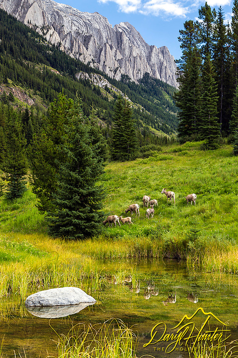 A herd of bighorn sheep casting a fine reflection in a spring fed pond while grazing below the amazing mountains of Kananaskis Country in the Canadian Rockies.
