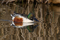 578380005 a wild male or drake northern shoveler anas clypeata in a pond at colusa national wildlife refuge califonia