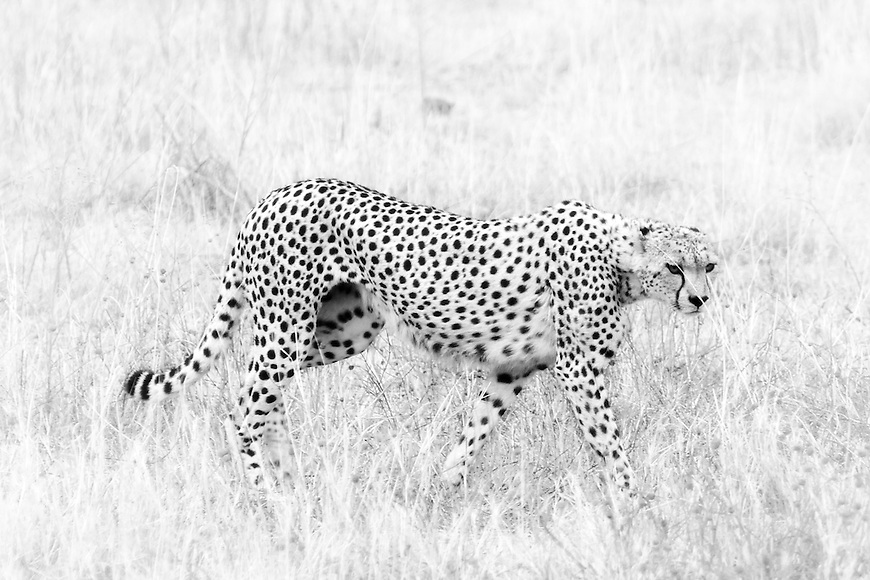 Cheetah prowling for birds and small mammals in the grass in the Ngorongoro Crater, Tanzania.