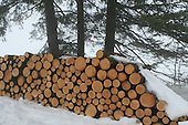 Small row of four foot long  softwood to be used for pulpwood, on a wet winter day