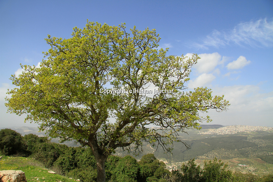 Israel, Mount Tabor forest on Mount Tabor