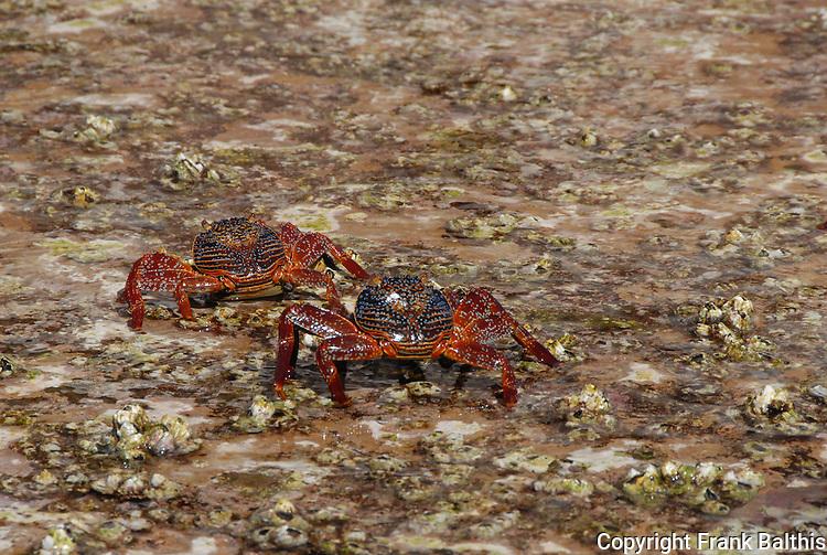 Sally light foot crabs at Los Islotes
