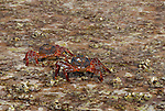 Sally light foot crabs at Los Islotes