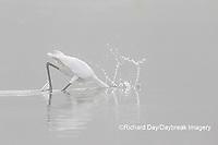 00688-02418 Great Egret (Ardea alba) feeding in wetland in fog, Marion Co., IL