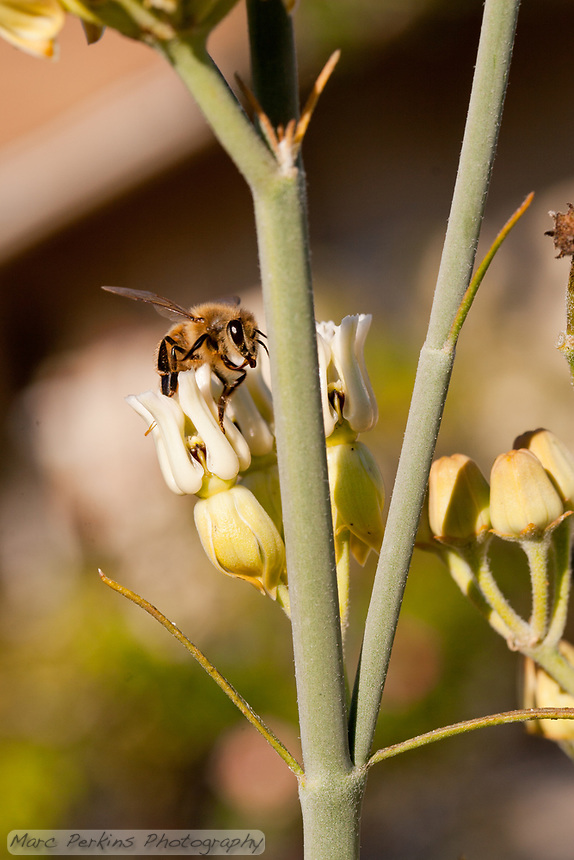 A bee stands on the flowers of a desert milkweed, [Asclepias subulata].  This California native milkweed is composed primarily of stems, with just a few thin leaves.
