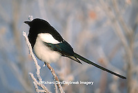 01296-00219  Black-billed magpie (Pica pica) in hoarfrost    AK