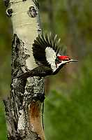 597980002 a wild male pileated woodpecker dryocopus pileatus flies among aspen trees on its way to its cavity nest in a forest glade in central washington state