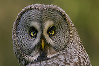 Great grey owl (Strix nebulosa) adult close-up portrait, Oulu, Finland.