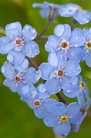 Forget-me-not blossoms and rain droplets, Denali National Park, Alaska.