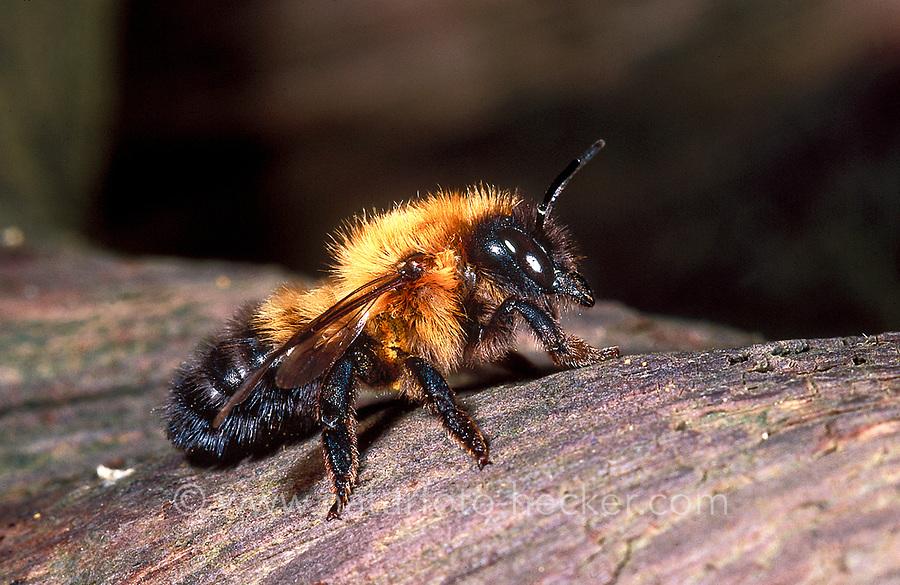 Schwarzbürstige Blattschneiderbiene, Schwarzbäuchige Blattschneiderbiene, Weibchen, Megachile nigriventris, Blattschneiderbienen, Megachilidae