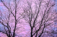 Branches of a sliver maple at sunrise<br /> Winnipeg<br /> Manitoba<br /> Canada