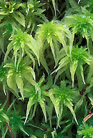 Common Green Sphagnum, Washington Cascade Mountains, Washington