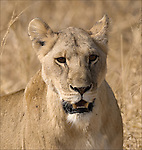 Lion in the Tarangire National Park.(Panthera leo).August 14, 2006.© Fitzroy Barrett.