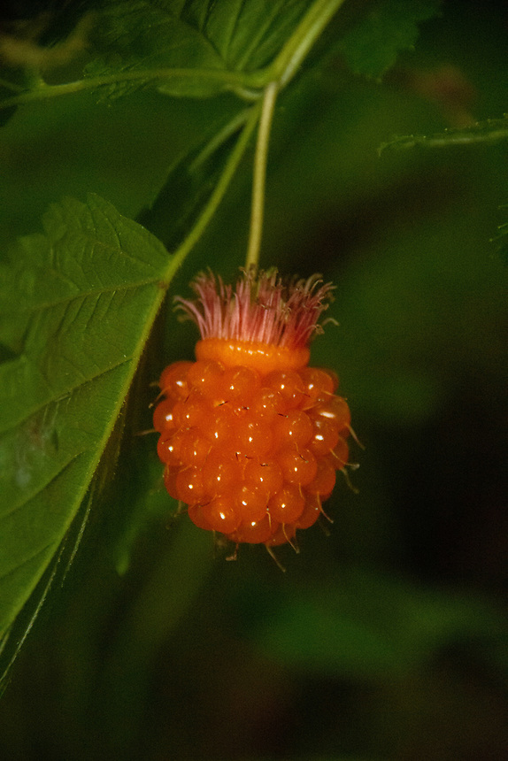 Salmonberry (Rubus spectabilis) in the Temperate Rainforest of the Lower Queets Valley, Olympic National Park, Washington, US