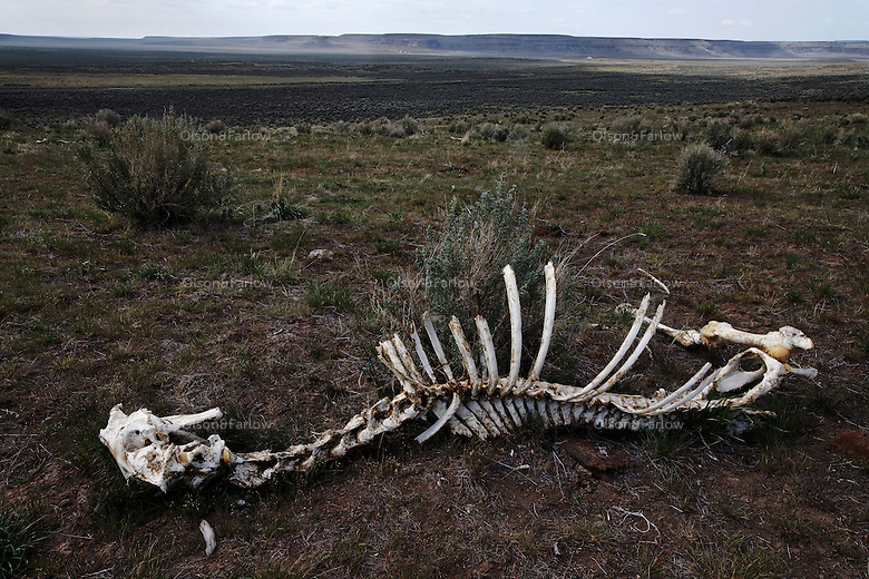 A horse skeleton lies on the hillside of South Steens wild horse herd.  It looked to be a young horse (by its teeth) and probably broke a leg or was killed by a cougar.  Besides man, the cat is the only predator of the mustangs. Legs were torn off and dragged away indicating a cougar feasted if didn't kill the horse.