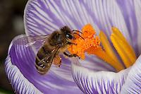 Honigbiene, Honig-Biene, Biene, Apis mellifera, Apis mellifica, Blütenbesuch auf Krokus, Nektarsuche, Blütenbestäubung, Pollenhöschen, honey bee, hive bee