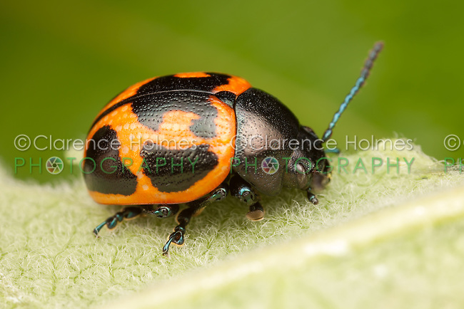 Swamp Milkweed Leaf Beetle (Labidomera clivicollis) on a Milkweed plant leaf, Ward Pound Ridge Reservation, Cross River, Westchester County, New York