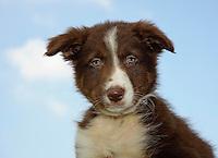 Brown sheepdog puppy. Border Collie.