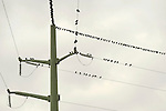 Pigeons on high tension wires.