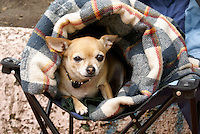 Chihuahua rolled in a blanket, Mexico City