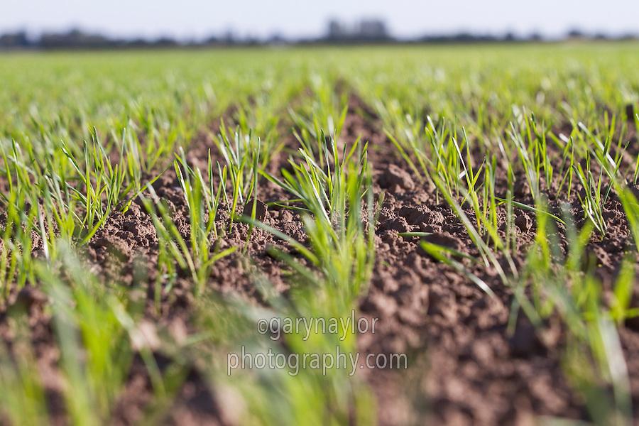 Winter wheat emerging in late September