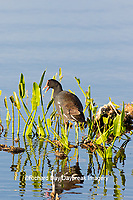 00858-00412 Common Gallinule (Gallinula galeata) at Viera Wetlands Brevard County, FL