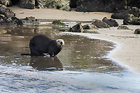 southern sea otter, Enhydra lutris nereis, aka California sea otter, hauling out on the beach with his back raised/hump showing, Moss Landing, Monterey Bay National Marine Sanctuary, Monterey, California, USA, Pacific Ocean
